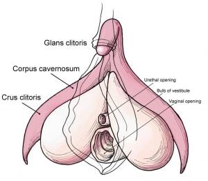 Clitoris, centrum van opwinding