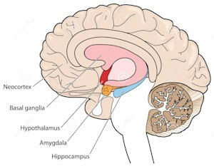 waarom seks brein