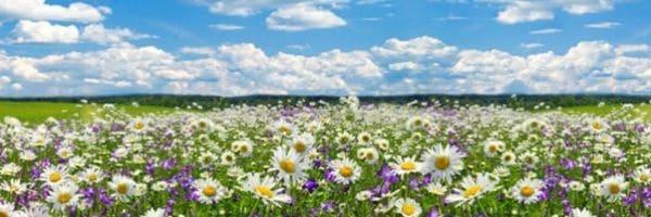 veld met liefdesbloemen