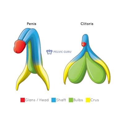 anatomie penis en clitoris